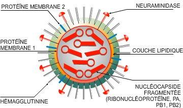 Structure du virus H1N1
