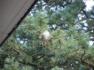 Un cocon sur une branche de pin, vu du 3ème étage du bâtiment E
