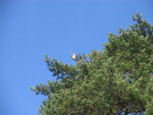 Un cocon au sommet d'un pin à proximité du gymnase OB