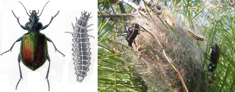 Le grand calosome, un carabe, insecte coléoptère